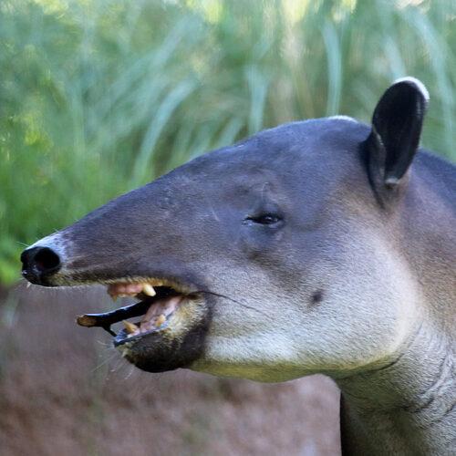 tupi-tapir-eating-stick-thumb-scaled